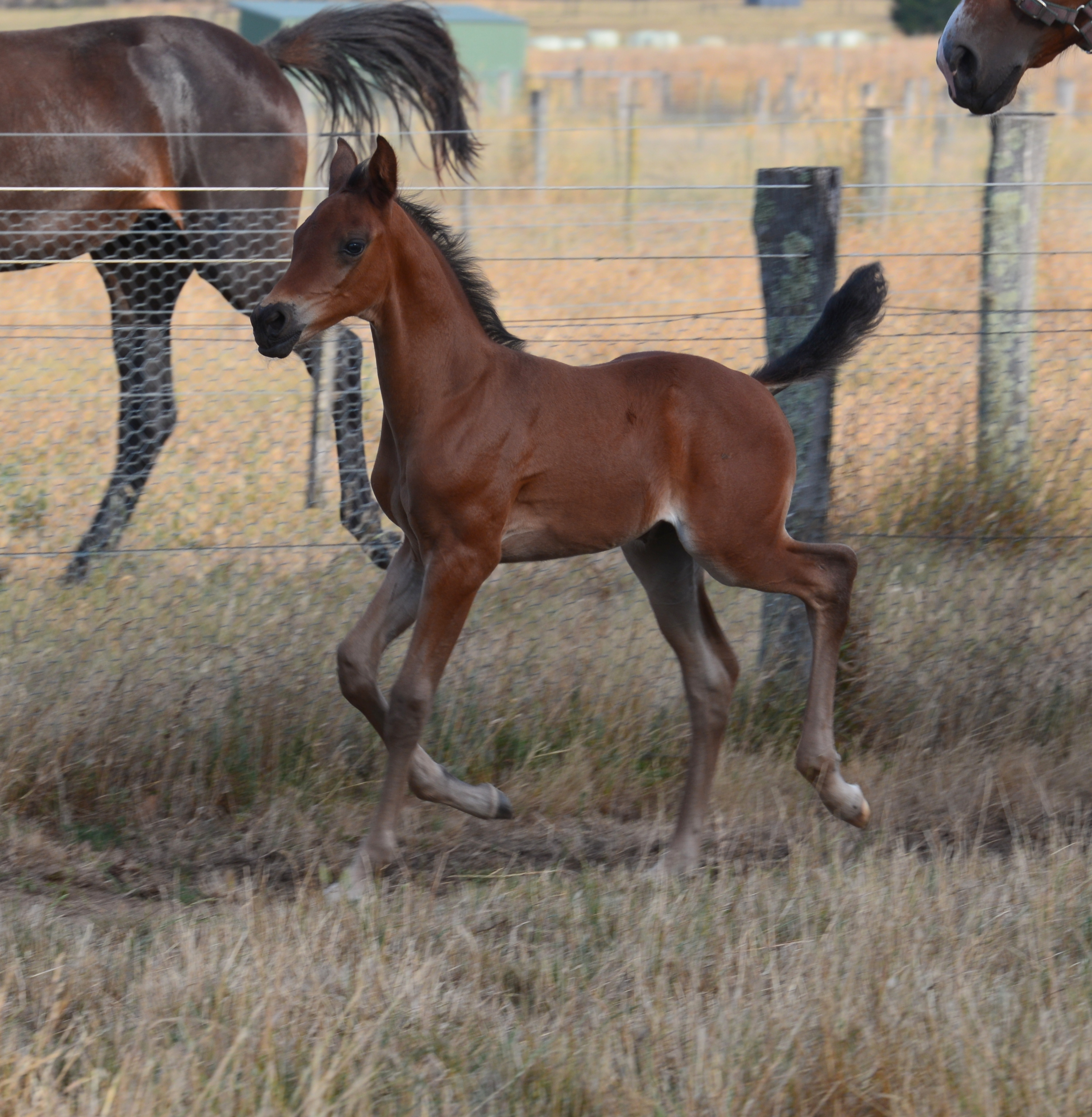 Warrawee Stud Purebred, Anglo and Warmblood Arabian Horses